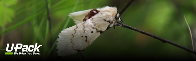 What You Need to Know About Moving and Gypsy Moths