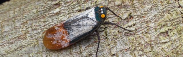 What You Need to Know About the Spotted Lanternfly
